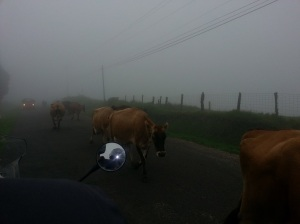 Cows walking on the road