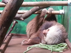 A sloth hanging from a branch eating green beans